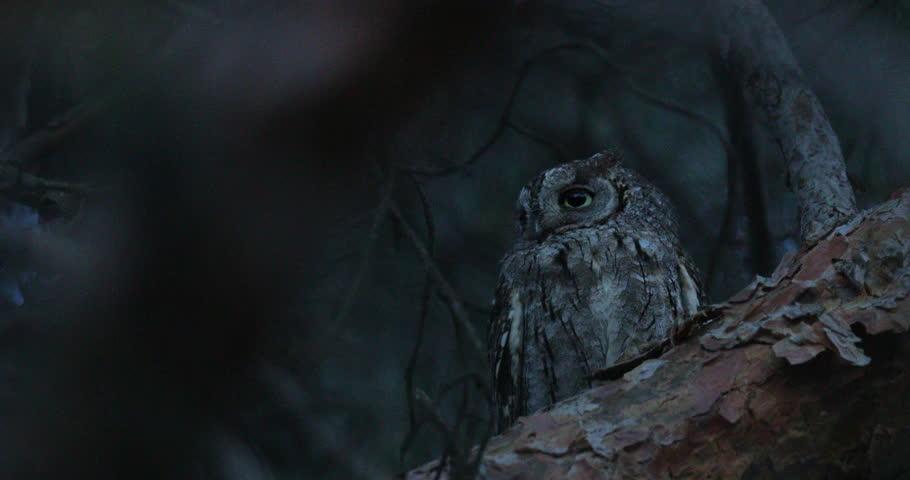 Common Scops Owl, Otus scops, near the nest. Madzharovo, Eastern Rhodopes, Bulgaria. Wildlife Balkan. Bird behaviour scene from nature. Nesting animal in the habitat. Owl on the tree.