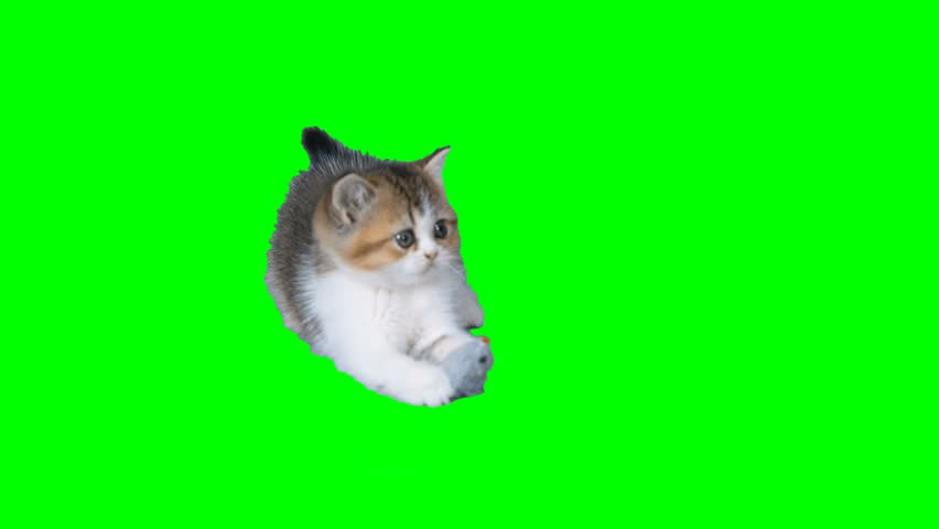 4K Cat Kitten Playing with Rat Toy at Green Screen Chroma Key Background Small Cutie One high Resolution Scottish Straight Kitten White and Brown Colors #27380437