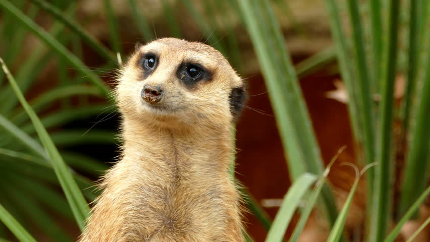 Portrait of vigilant meerkat, seen from the back, is turned looking in all directions and disappears Royalty-Free Stock Footage #27399046