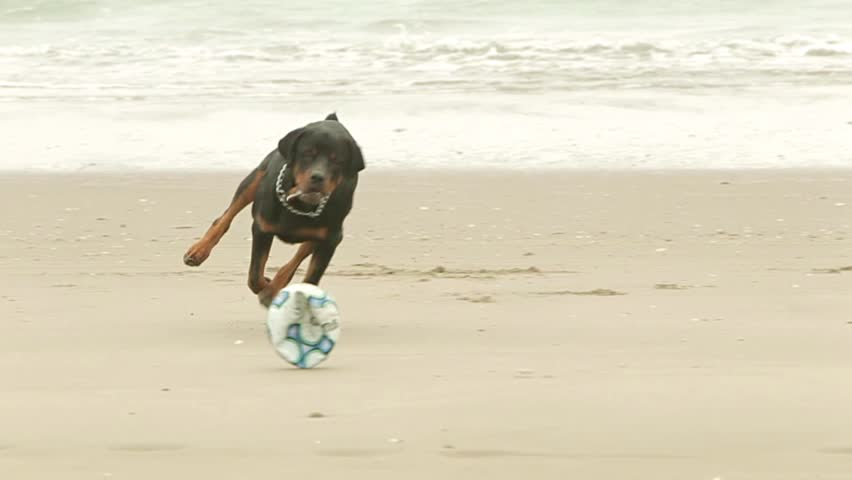 Adult Rottweiler purebred chasing a ball on the beach, slow motion HD footage
