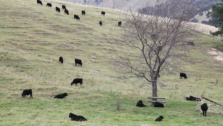 Black steers bulls on a farmland in New Zealand.
