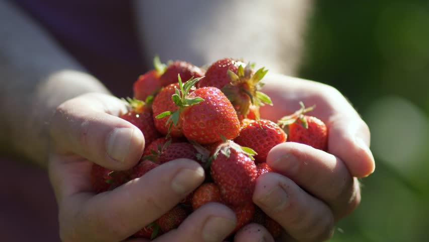 Fresh organic strawberries in human hands #27470377