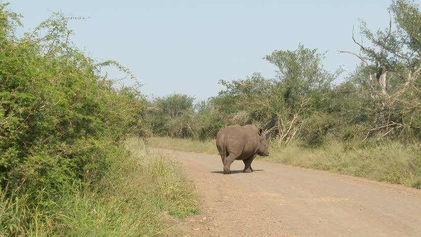 Two White Rhinoceros (Ceratotherium simum) crossing the road in Kruger N.P. | Shutterstock HD Video #27519307