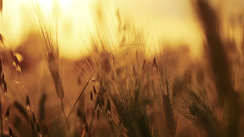 Wheat Field. Ears of wheat close up. Harvest and harvesting concept. Field of golden wheat swaying. Nature landscape. Peaceful scene. Background Health Concept HD