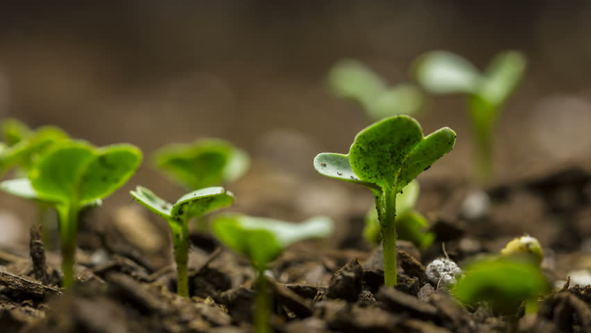 Time lapse of vegetable seeds growing or sprouting from the ground.   #27522457