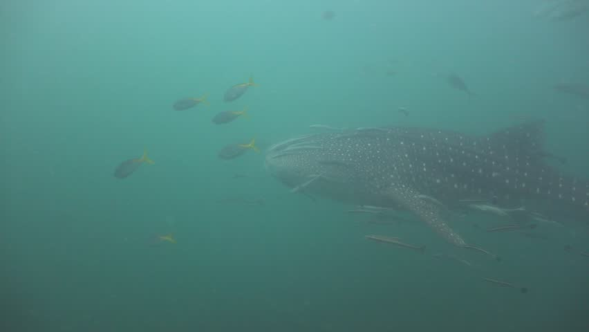 The whale shark swims past the operator. Close. The camera follows the tail of the shark. In the background there is a second whale shark. Very poor visibility. Plankton is plentiful | Shutterstock HD Video #27539668