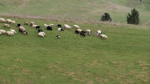 Group of sheep gazing, walking and resting on a green pasture.