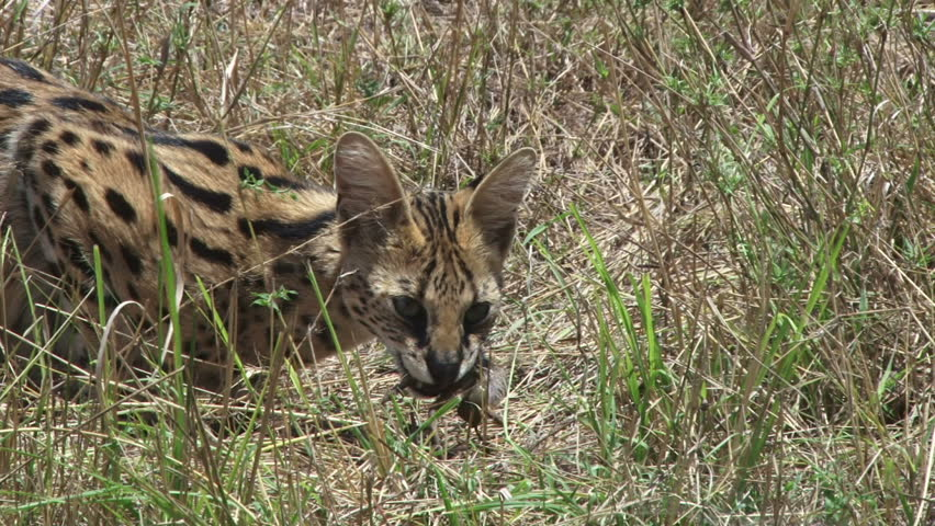 Serval cat eating a rat in the grassland.