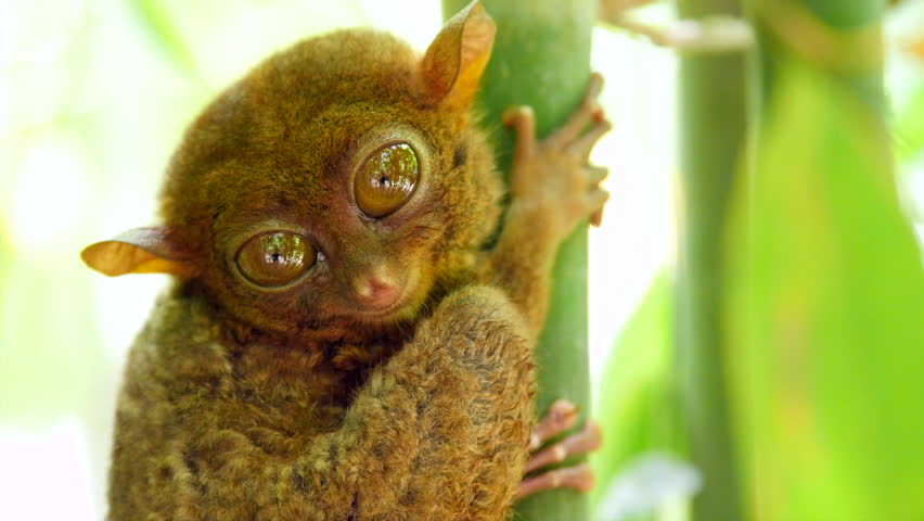 Tarsier monkey in its natural habitat in Bohol, Philippines. Close up shot, zoom in.