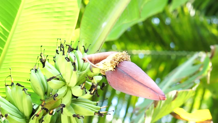 Paradisiaca is a large, herbaceous plant native to Southeast Asia. Banana flowers are rich in unsaturated fatty acids, vitamin E and flavonoids. | Shutterstock HD Video #27617413