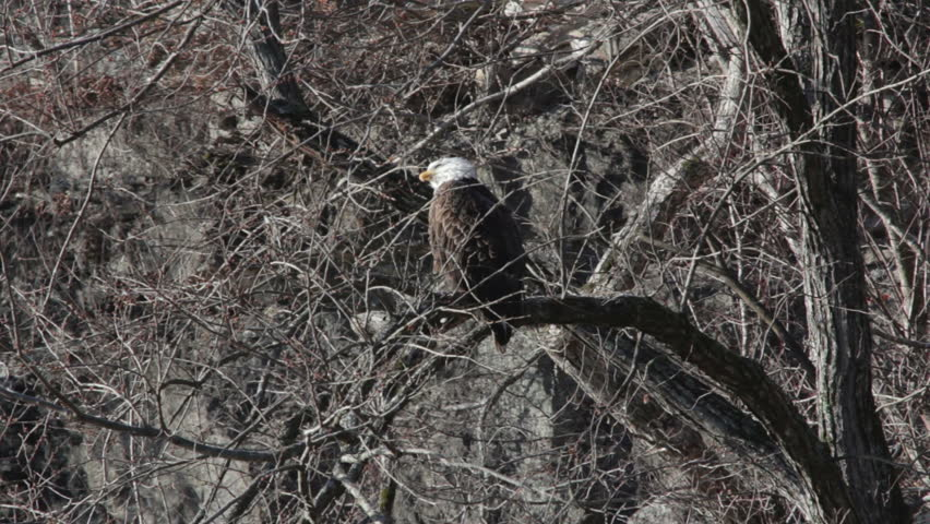 A bald eagle sitting in a tree over a river stretches its neck as it prepares to fly.