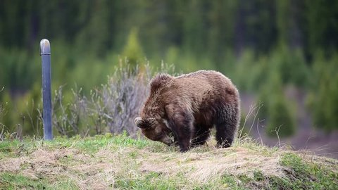 5 year old Grizzly Bear feeding on grass in the springtime, Bow Lake area of Banff National Park Alberta Canada