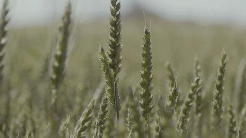 wheat plants field