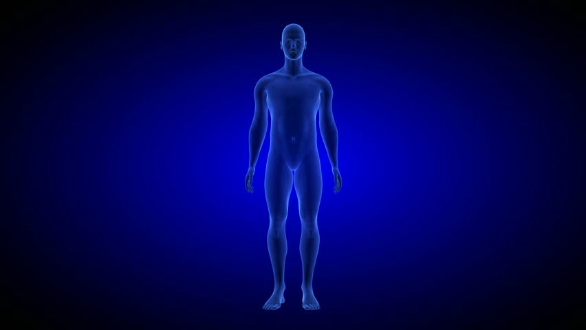 Human Anatomy Body 3D Scan render on blue background.- rotating seamless loop