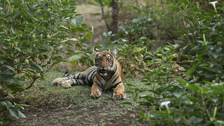 Tiger cub in the nature habitat. Tiger cub in the nice green bush. Wildlife scene with danger animal. Hot summer in Rajasthan, India. Dry trees with beautiful indian tiger, Panthera tigris