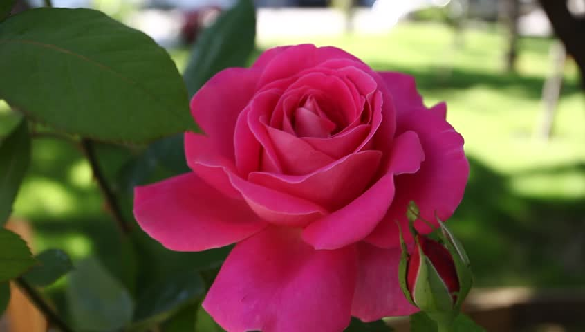 Red rose   Shutterstock HD Video #2771255