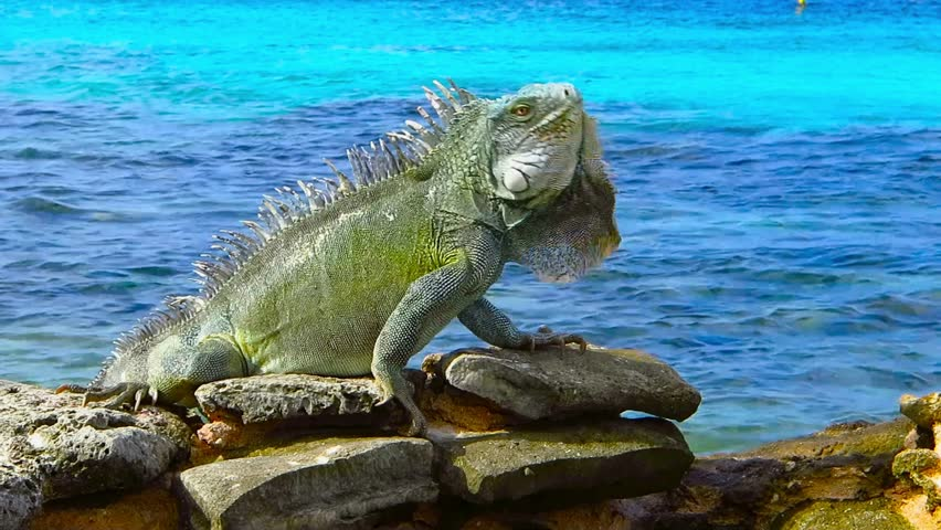Green cute iguana sitting on the rocky beach near azure sea. Tropical island shore with exotic animal. Calm cyan ocean, sunny day, beach vacation with colorful reptile.