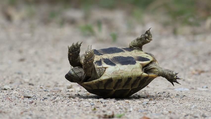 Hermann's Tortoise flipped on it's back