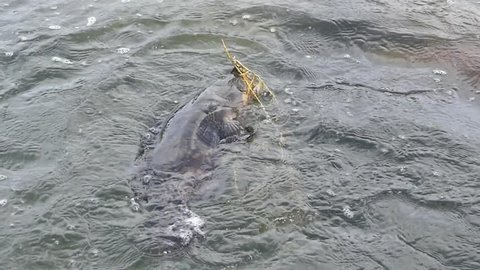 grouper fighting when it is hooked by a angler in the fishing tournament