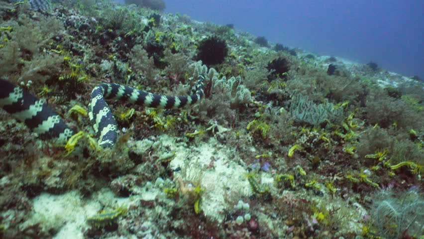 Sea snake on coral reef. Banded Sea Snake underwater.Wonderful and beautiful underwater world. Diving and snorkeling in the tropical sea. 4K video. #27758863