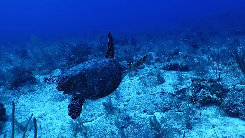 Deep sea turtle swimming over the tropical reef, variety of corals and plants. Deep blue caribbean ocean, blue background. Detail of legs and shell. Scuba diving underwater adventure.