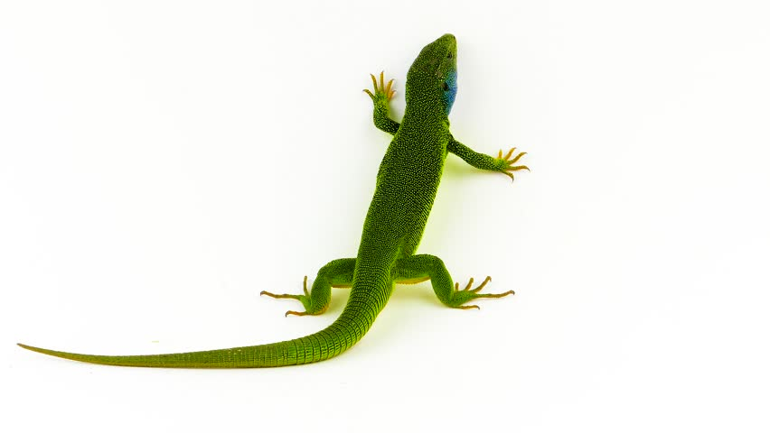 Green lizard on white
