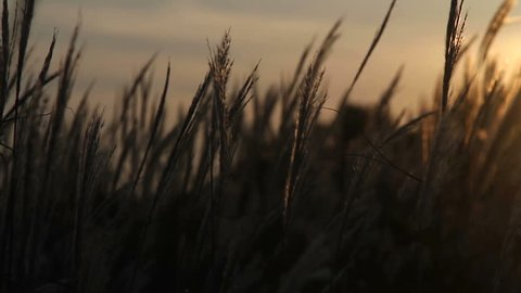 meadow grass swaying in the sun