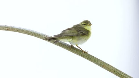Willow Warbler (Phylloscopus trochilus) isolated on a white background