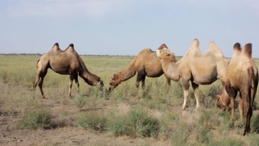 Camels_02 | Shutterstock HD Video #2791339