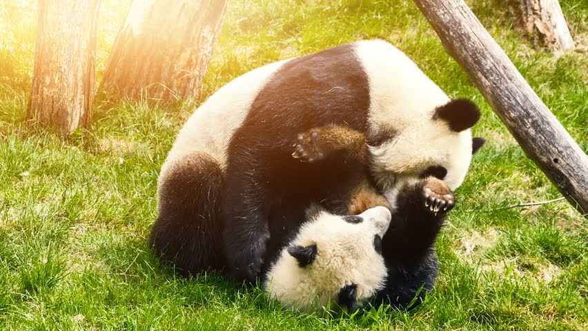 Panda bear playing with baby panda. Animal background, Full HD, 1080p