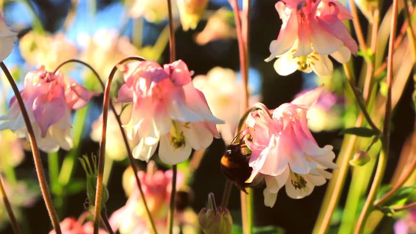 Bumblebee creeps along the flower of pink aquilegia | Shutterstock HD Video #27945997