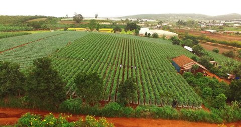 Aerial shot: Field of tomato on highland Lam Dong, Viet Nam