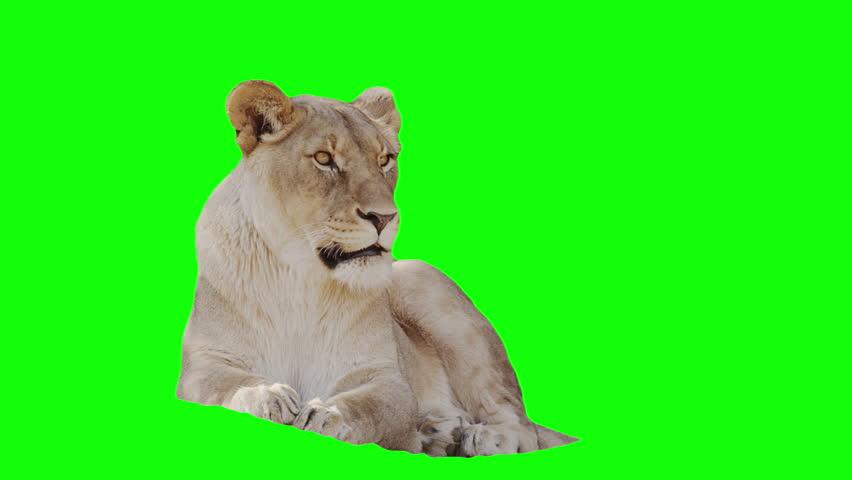 Lioness footage with alpha channel and green screen.