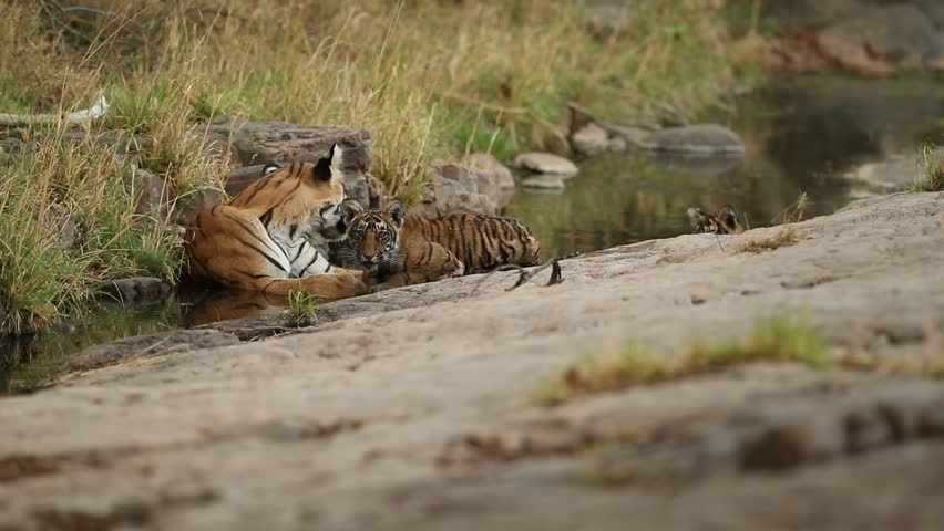 Tigers in the nature habitat. Tigers mother and cubs resting in the water. Wildlife scene with danger animal. Hot summer in Rajasthan, India. Dry trees with beautiful indian tiger, Panthera tigris
