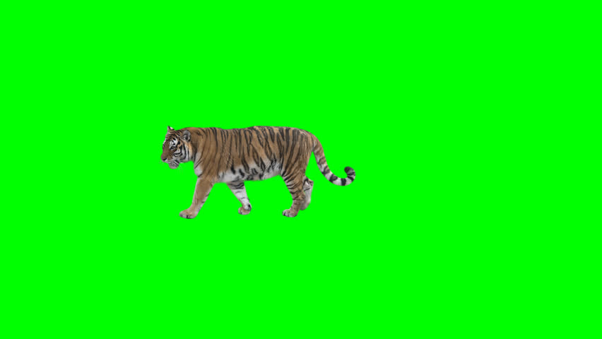 Tiger slowly walking across the frame on green screen, real shot, isolated on chroma key, perfect for digital composition, cinema, 3d mapping