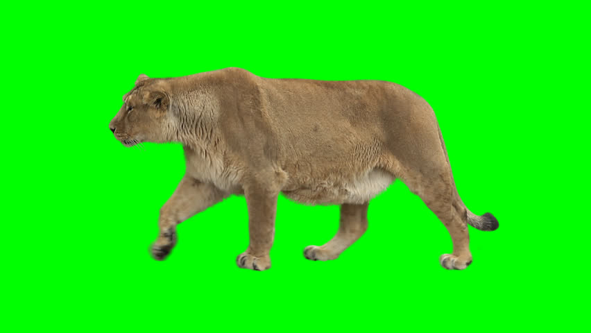 Female lion slowly walking seamlessly looped on green screen, real shot, isolated on chroma key, perfect for digital composition, cinema, 3d mapping