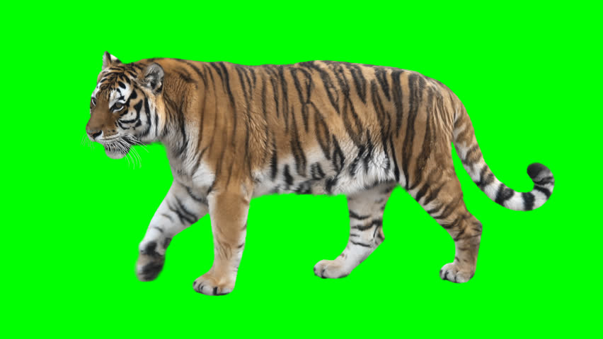 Tiger slowly walking seamlessly looped on green screen, real shot, isolated on chroma key, perfect for digital composition, cinema, 3d mapping