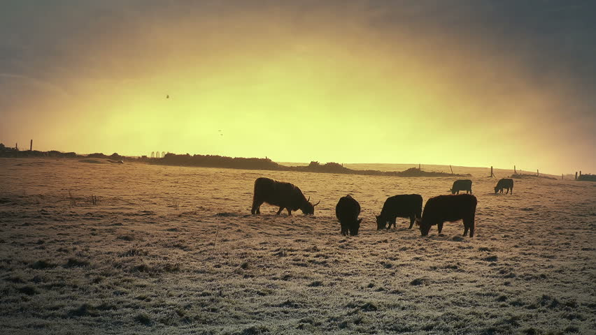 Cows grazing in a field stock footage. Farm animals on a frosty morning grazing in a frost covered ground.
