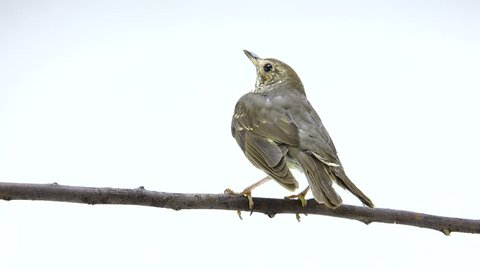 Song Thrush (Turdus philomelos) isolated on a white background