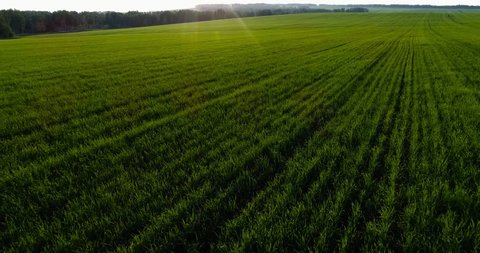 The wheat field is the first shoots. Agroculture. Green field. Aerial View.