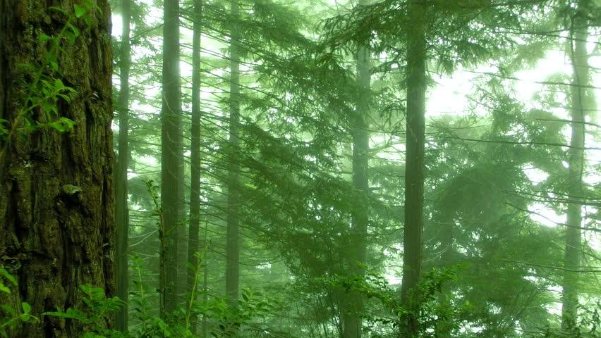Redwood 142 Foggy Forest | Shutterstock HD Video #2807068