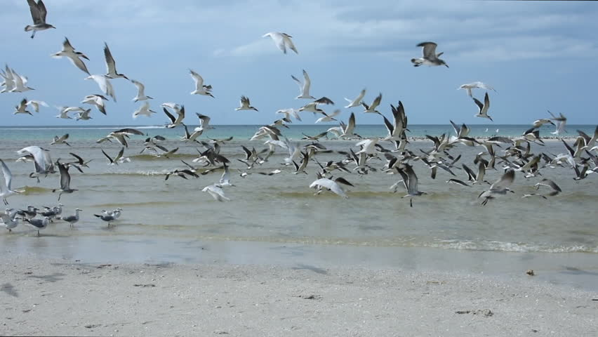 Over one hundred sea gulls and black skimmer sea birds taking off in to flight once startled on beach at Clam Pass near Naples, Florida
