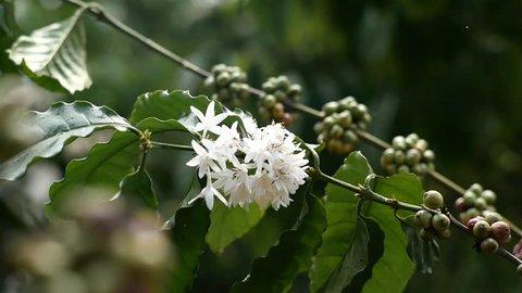 coffee flower in the coffee farm