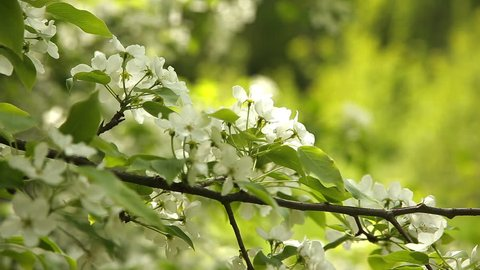 Flowering branch is swaying in the wind