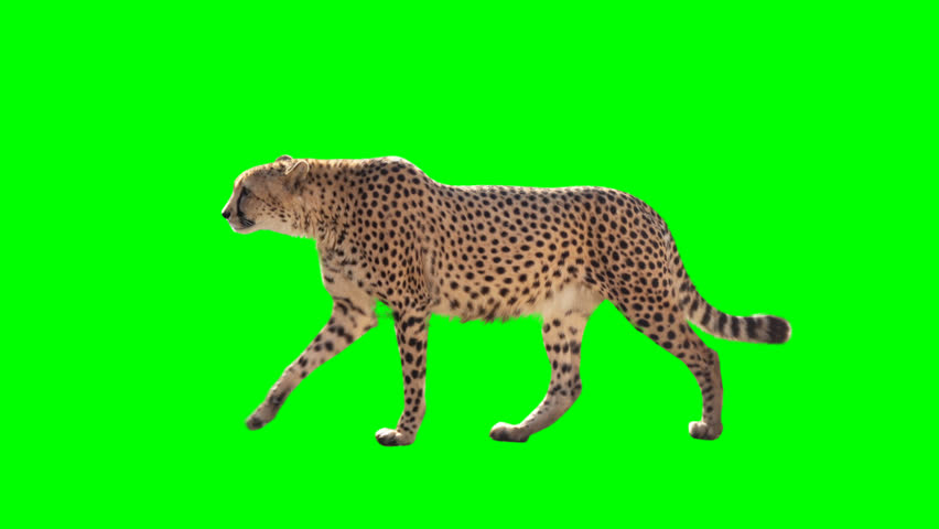 Cheetah slowly walking seamlessly looped on green screen, real shot, isolated with chroma key, perfect for digital composition, cinema, 3d mapping