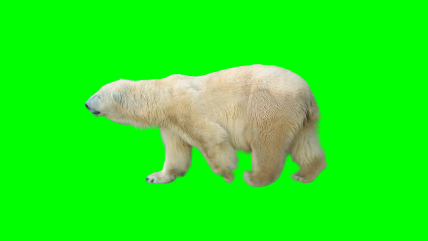 Polar bear walking seamlessly looped on green screen, real shot, isolated with chroma key, perfect for digital composition, cinema, 3d mapping