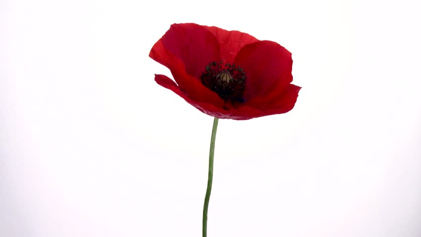 Red Poppy Flower Blooming In Stock Footage Video 100 Royalty