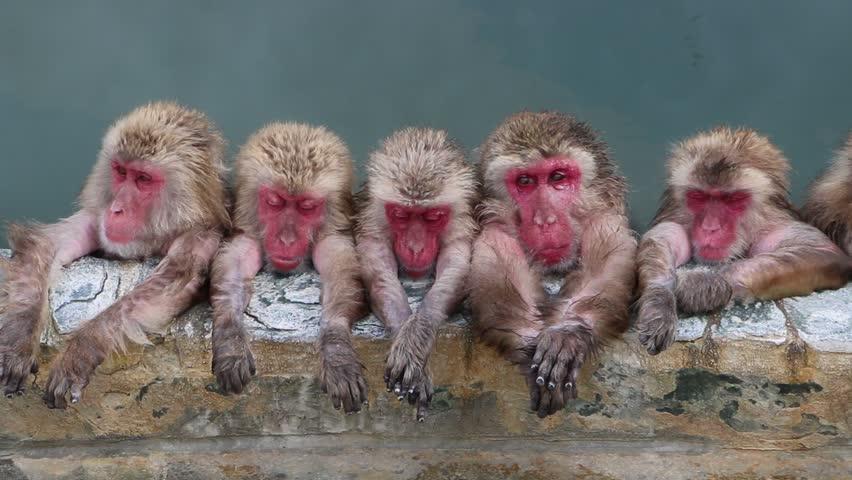 Monkey onsen at hakodate , Japan