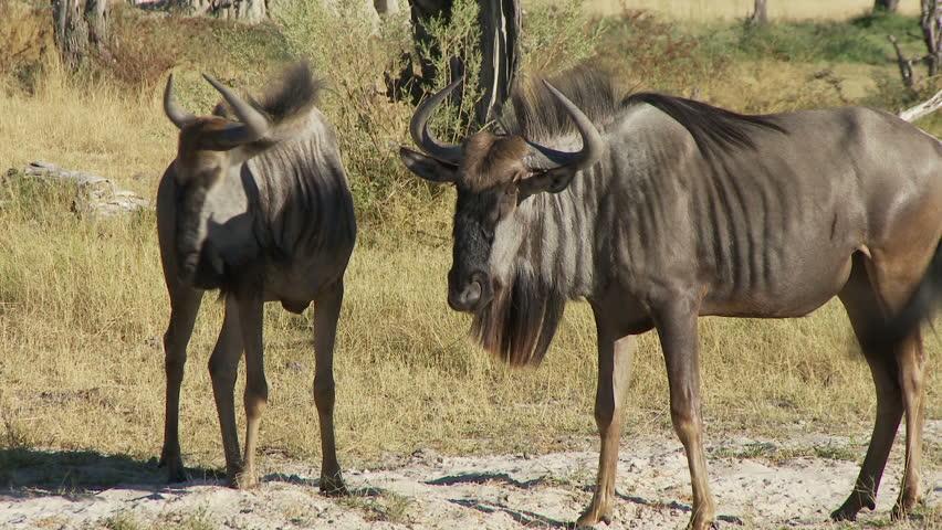 Wildebeest walking and mock fighting  | Shutterstock HD Video #283066