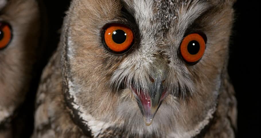 Long Eared Owl   Shutterstock HD Video #28309666
